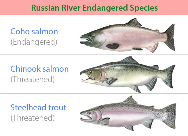 Endangered fish species of the Russian River: Coho Salmon (Endangered), Chinook Salmon (Threatened), and Steelhead Trout (Threatened)