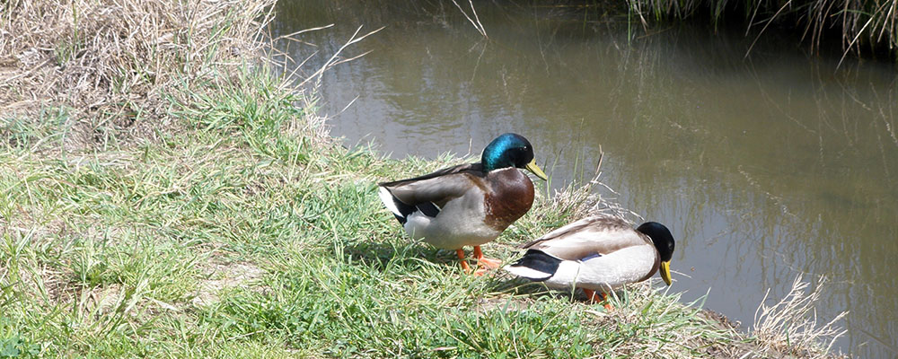 Mallard ducks at Garvanta Weblands