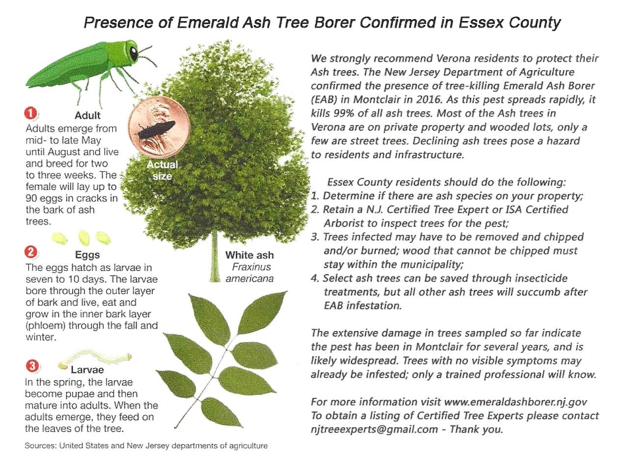 Emerald Ash Borer Confirmed In Essex County